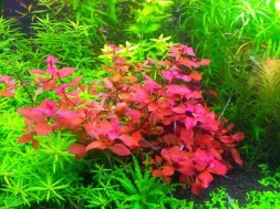 1470317262_ludwigia-palustris-super-red-2