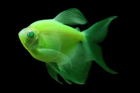 3890Long-fin-GloFish-Electric-Green-Tetra_1024x1024