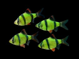 76981397_w640_h640_glofish_stripe__green_barb