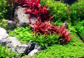 Alternanthera-Reineckii-Mini-Care-Sheet-Reineckii-Mini-for-sale-and-where-to-buy-AquaticMag-1