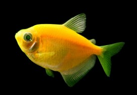 GloFish_Sunburst_Orange_Tetra_1024x1024