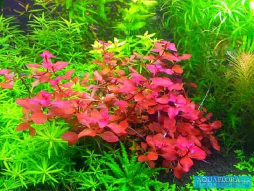 1470317262_ludwigia-palustris-super-red-2.jpg