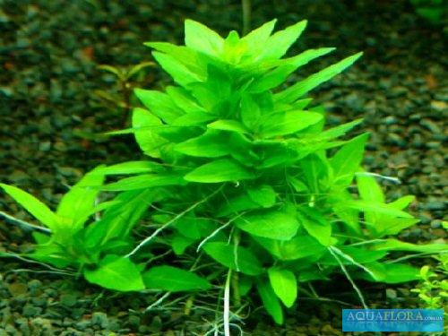 staurogin repens.jpg_product_product_product_product